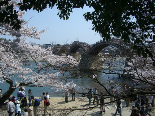 500太鼓橋と桜.jpg