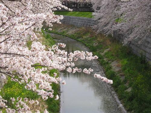 500山崎川に繋る桜.jpg
