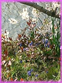200桜花々.jpg