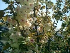 240桃の花?.jpg