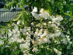 240桜?.jpg