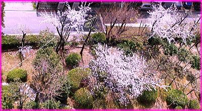 400南側庭園の桜11階より.jpg
