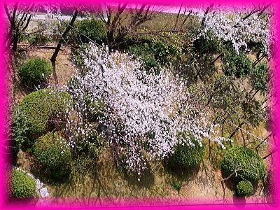 400南側連れの前庭の一番大きい桜.jpg