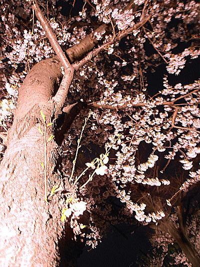 400夜桜.jpg