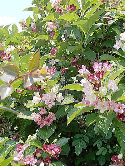 400川辺の花木.jpg