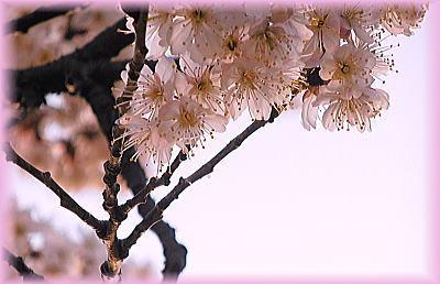 400桜?.jpg