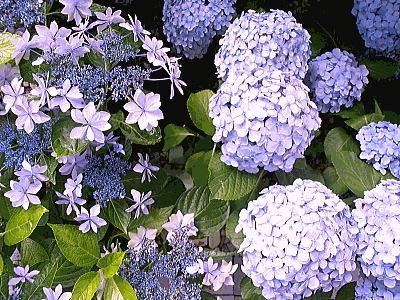 400紫陽花ガーデン④.jpg