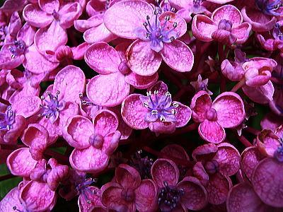 400紫陽花ガーデン⑤.jpg