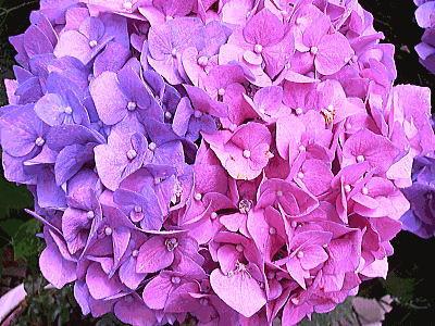 400紫陽花ガーデン⑥.jpg