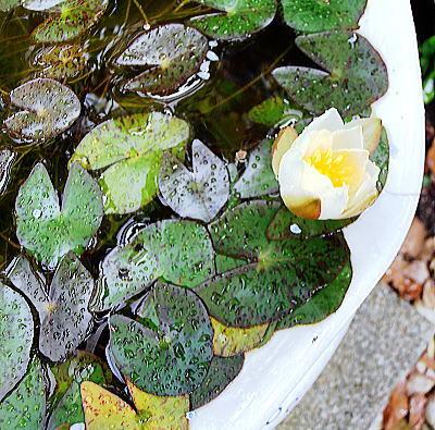400紫陽花ガーデン水連.jpg