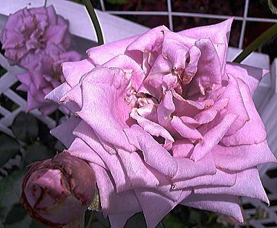 400紫陽花ガーデン薔薇.jpg
