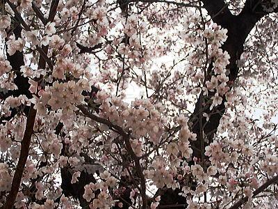 400マンションの桜.jpg
