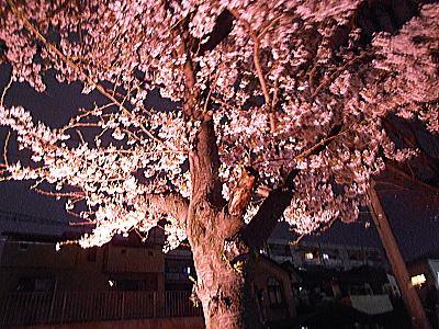 400マンション夜桜.jpg
