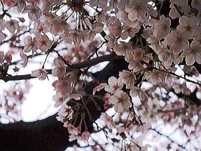 400マンション桜②.jpg