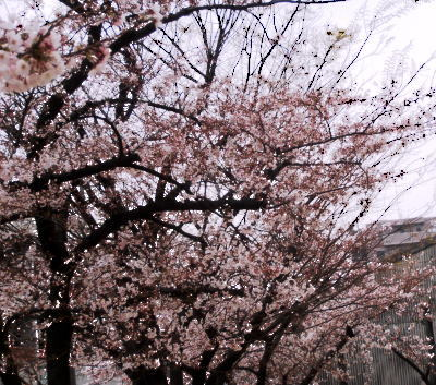 400マンション桜③.jpg