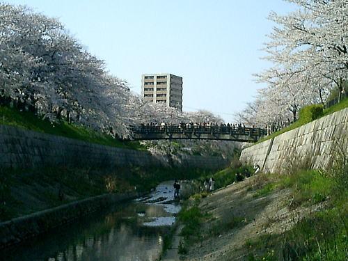 500山崎川9.jpg