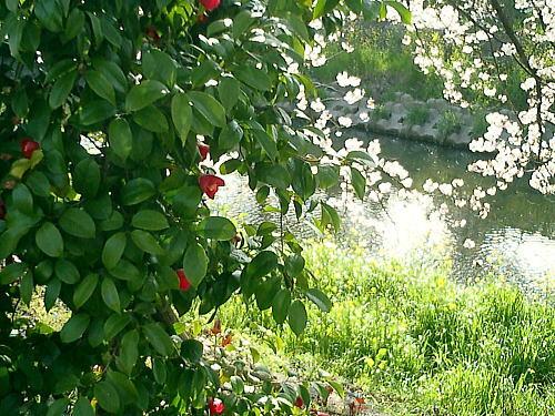 500椿と桜.jpg