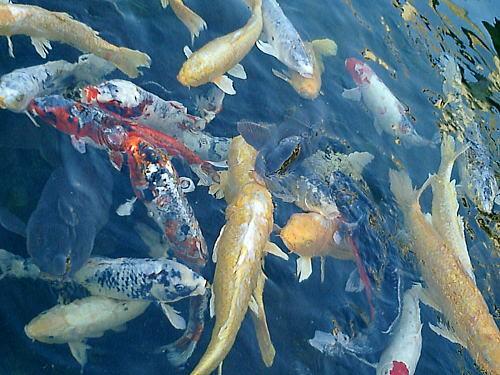 500鯉の群れ.jpg