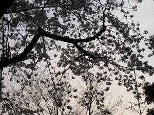 300伝馬神社桜その2.jpg
