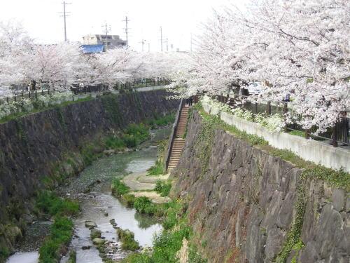500右岸桜と川底.jpg
