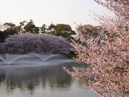 500噴水と桜.jpg