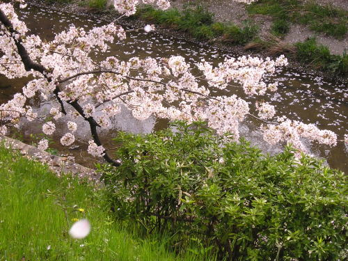 500川と桜枝.jpg