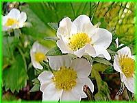 200白い花.jpg