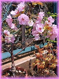 20連れの桜鉢.jpg