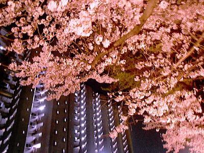400マンションの夜桜.jpg