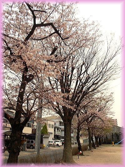 400マンションの桜1.jpg