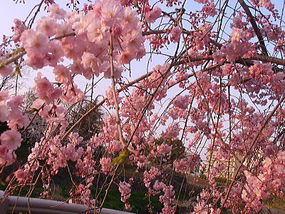 400山崎川しだれ桜.jpg