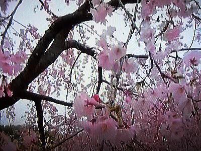 400桜.jpg