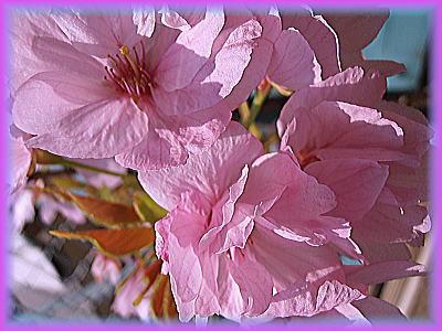 400連れの桜.jpg