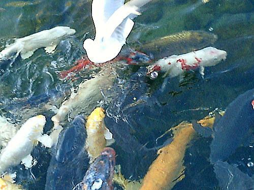 500白鳥池鯉と海燕.jpg